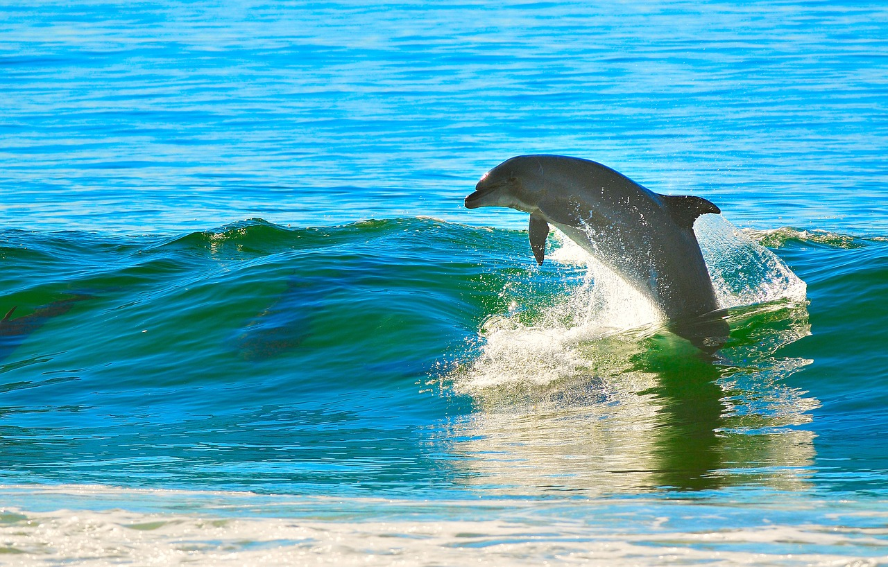 dolphin_diving